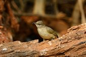 picture of bulbul  - beautiful Streak - JPG