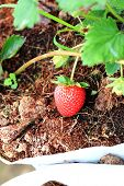 foto of strawberry plant  - Fresh Strawberry on Strawberry Tree on organic plant - JPG