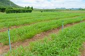 stock photo of ipomoea  - Water Spinach Or Ipomoea Aquatica Plantation - JPG