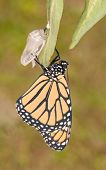 stock photo of chrysalis  - Monarch butterfly moments after eclosion from its chrysalis - JPG