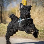 picture of standard poodle  - A black standard poodle running on a road with a laid - JPG