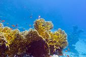 foto of fire coral  - coral reef with fire corals and exotic fishes anthias at the bottom of tropical sea on blue water background - JPG