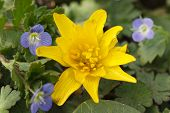 foto of boggy  - Yellow Caltha flower and small blue flowers Germander Speedwell closeup - JPG