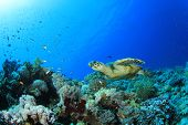 picture of hawksbill turtle  - Hawksbill Turtle on coral reef - JPG