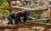 Chimpanzees Walking on a Tree