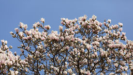 image of saucer magnolia  - Details of a beautiful blossoming tree in spring the magnolia soulangeana - JPG