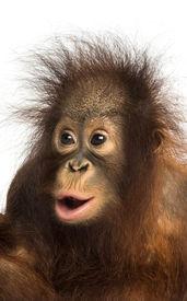 image of orangutan  - Close - JPG