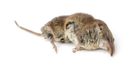 picture of shrew  - Dead Greater white - JPG
