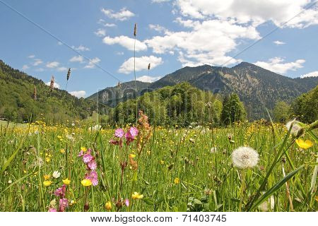 Alpine Wildflower Meadow, Bavaria