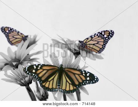 Three Monarch On Daisy