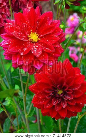 Red Dahlias Covered With Raindrops