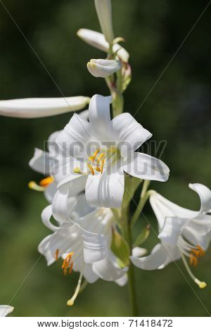 single stem with booming flowers od lilium on green background