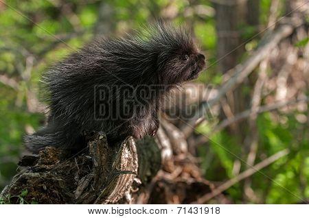 Baby Porcupine (erethizon Dorsatum)