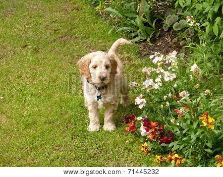 Cockapoo standing behind flowers