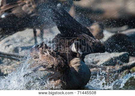 A Canada Goose (branta Canadensis) Splashing While Bathing