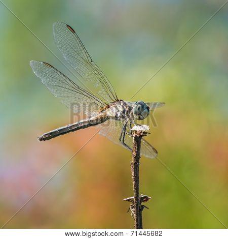 Blue Dasher IX