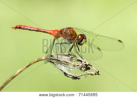 Red-tailed Pennant V