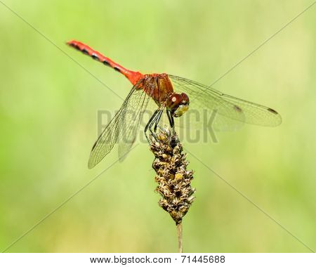 Red-tailed Pennant IV