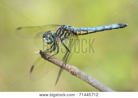 Blue Dasher VI