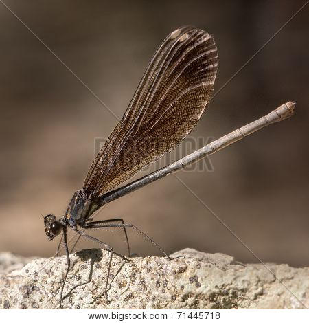 Broad-winged Damselfly