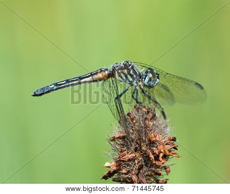 Blue Dasher VII