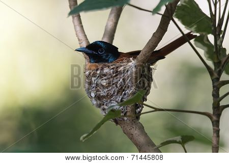 A Female African Red-bellied Flycatcher (terpsiphone Rufiventer) Sitting On Its Nest