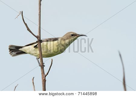 A Female Beautiful Sunbird (nectarinia Pulchella) Perched On A Branch