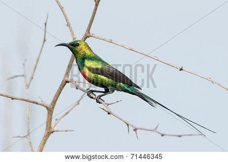 A Male Beautiful Sunbird (nectarinia Pulchella) Perched On A Thorny Branch