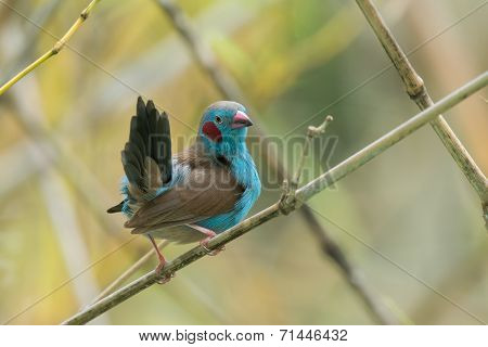 A Male Red-cheeked Cordon Bleu (uraeginthus Bengalus) Looking Up From Preening