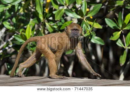 A Young Western Baboon (papio Papio) On A Walkway By The Mangroves