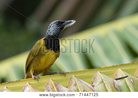 An Oriole Warbler (hypergerus Atriceps) On A Palm Leaf With Nest Material