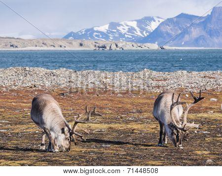 Wild Arctic reindeer in natural habitat - Spitsbergen