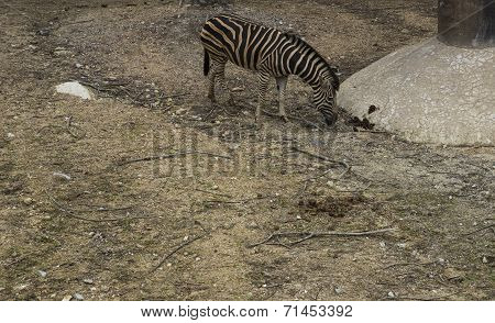 A Zebra In The Zoo