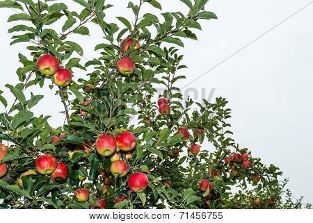 Ripening Apples From Close
