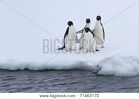 Group Of Adelie Penguins Are Standing On The Edge Of The Ice In Pure Water