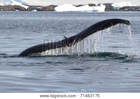 Humpback Whale Tail At An Angle Which Dives Into The Waters Of The Antarctic