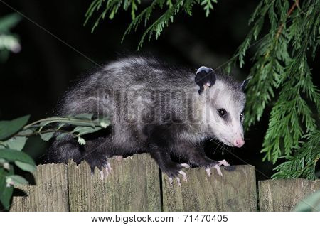 Virginia Opossum on a Fence