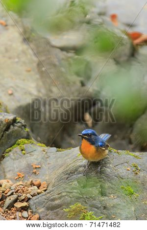 A Close Up Of A Hill Blue Flycatcher Standing Alone On The Rock
