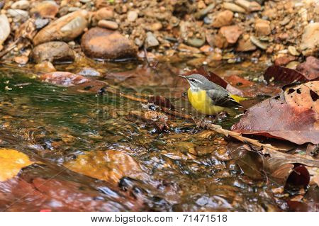 A Close Up Of A Gray Wagtail Standing In The Stream