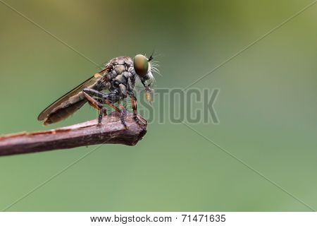 A Close Up Of Robber Fly With Its Prey At The End Of Stick