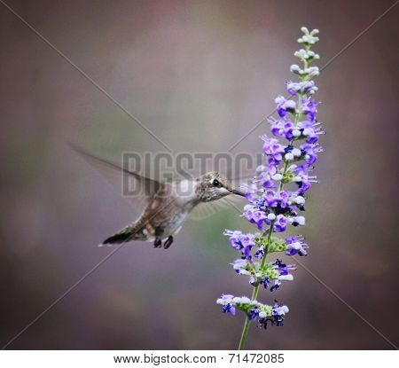 a cute hummingbird hovering at a flower to drink nectar