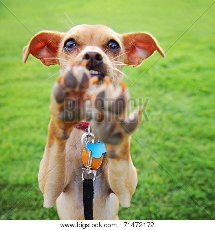 a cute chihuahua enjoying the outdoors on a summer day