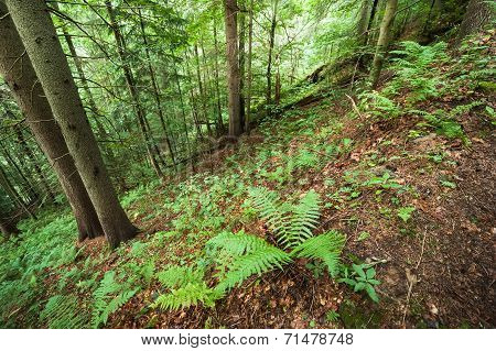 Pine Trees And Ferns Growing In Deep Highland Forest. Carpathian Mountains Nature Background