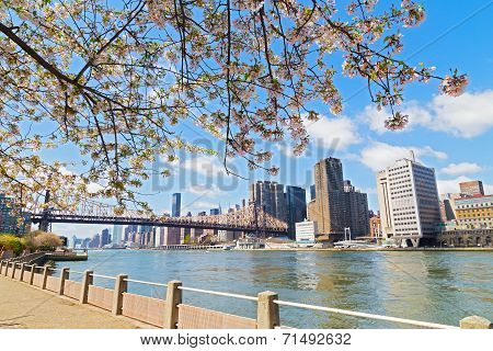 Cherry Blossom near East River and view on skyscrapers of Manhattan New York city.
