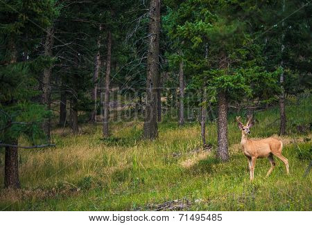 Young Colorado Elk