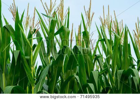 Cornstalks and tassels in a cornfield