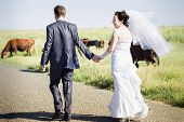 stock photo of sea cow  - beautiful brunette bride in white wedding dress hold by the hand her groom and walk near the cows - JPG