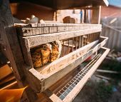 pic of quail  - Brown Young Quails Birds In Cage - JPG