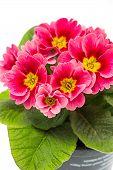 picture of primrose  - pink primulas. closeup of spring flowers primrose ** Note: Shallow depth of field - JPG