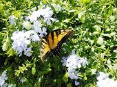 picture of butterfly-bush  - Swallowtail butterfly nectaring on a white ginger bush - JPG